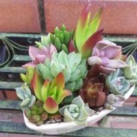 多肉の寄せ植え、紫陽花「万華鏡」、八重咲クレマチスなど母の日のプレゼントにいかがでしょう?