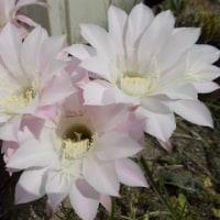♪~サボテンの花が咲いた~♪
