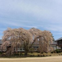 飯田の桜 最後の足掻