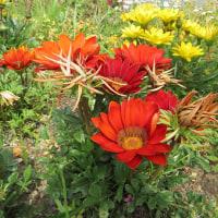橙色のガザニア