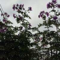 皇帝ダリア今年も咲きました。