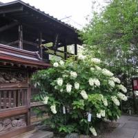 6月19日、ラジオ体操をしてから高幡不動尊へ(コンデジで紫陽花を撮る)
