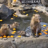 ☆カピバラ露天風呂〜伊豆シャボテン動物公園〜
