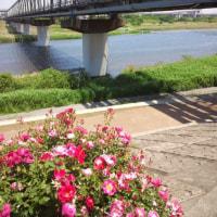 相模川と小田急とバラと