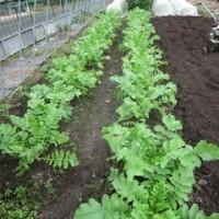 野菜畑のこと34