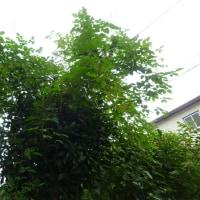 隣の空き家の木に草が絡んで、うっとうしいので剪定してもらった。