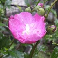 雨の中のおしろい花とムクゲの花