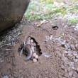 トカゲの産卵