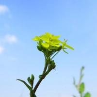 「咲き出す菜の花」 いわき 新川の河原にて撮影!