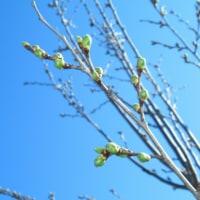 北海道の桜開花は5月に入ってから~新川さくら並木~