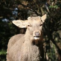 たのしい万葉集 鹿の気持ちを乞食者が詠んだ歌