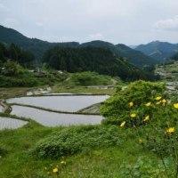 奥三河の藤の花と棚田