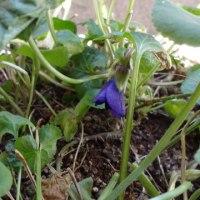 スミレの育て方2月 スミレの花を楽しむ  ボーンマス・ジェム本格的に咲き始める