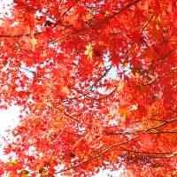 植物園最終の紅葉、ソテツのこも巻き、チューリップ球根植え