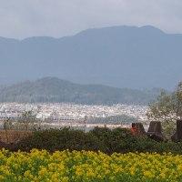 滋賀第一なぎさ公園の寒咲ハナナを見て来ました。