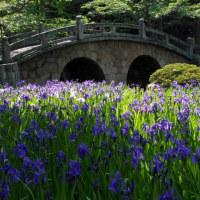 菅原神社カキツバタ