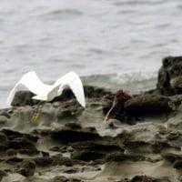 6/29探鳥記録写真(狩尾岬:カラシラサギ2-カラシラサギの飛翔)