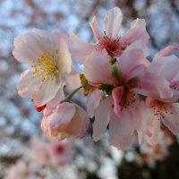 十月桜とは聞いた事がありましたが、