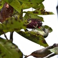アオゲラ  森林植物園  10月14日撮影