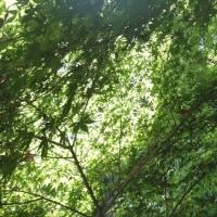 初夏の新緑
