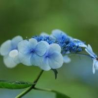 6月の花 アジサイ その2