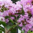 夏桜『百日紅』咲く・梅雨明け
