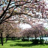 浮間公園の八重桜・・3
