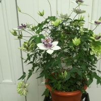 八重咲クレマチス(ご注文)の可愛い花をご紹介!そして今ふれあい館前で販売しています。