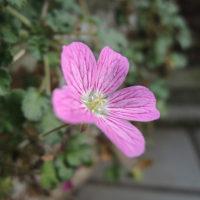 まだ かわいいピンク咲いてます。
