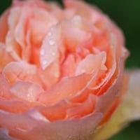 雨に濡れるバラ