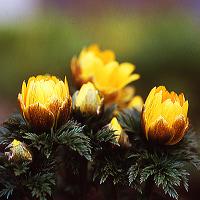 四季の花(福寿草)