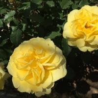 満開の薔薇を見に小田原へ