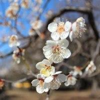 小金井公園で梅のお花見 3ポメ集合