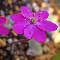 ●我が家の3月の花(10)  赤い雪割草(佐渡赤) カタクリ  フリルムスカリ スノーフレーク(スズラン水仙)