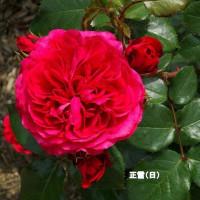 5/24花日記(響灘グリーンパークのバラフェア-4(作出国:日本、デンマーク、ベルギーのバラたち他))
