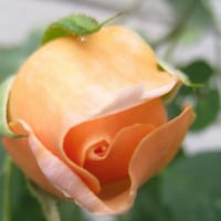 ツル薔薇が一気に・・・