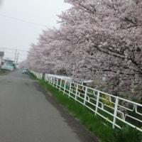 桜・桜・さくらの散歩