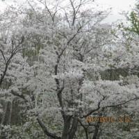 戸田記念公園の桜