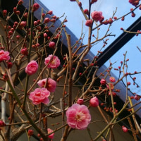 紅梅咲き (17-0124)
