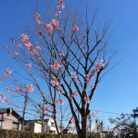 土曜日の午後、芝生の枯れ葉の中で桜の若木。
