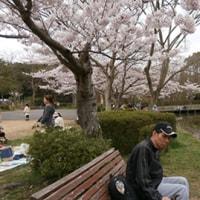 どこも桜、桜です!