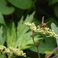 ノブドウの花にコアシナガバチ