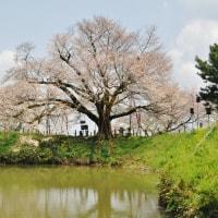 久留米 浅井の桜