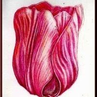 色鉛筆画349 (チューリップ)