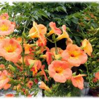 梅雨の彩りに…(^^♪チャイニーズ・トランペット・フラワーと呼ばれる「ノウゼンカズラ(凌霄花 )」