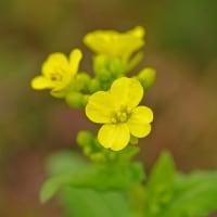 [#3524] 2月,3月に撮った花の写真(7)菜の花