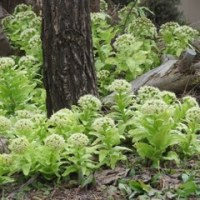 「ばっけ」の茎はフキより美味