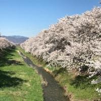 桜三昧−桜のアルプスあずみのセンチュリーライド2017