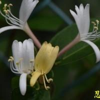 スイカズラ 開花