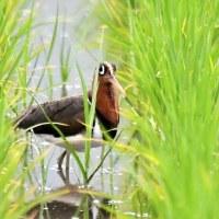 キジ 水辺の探鳥で